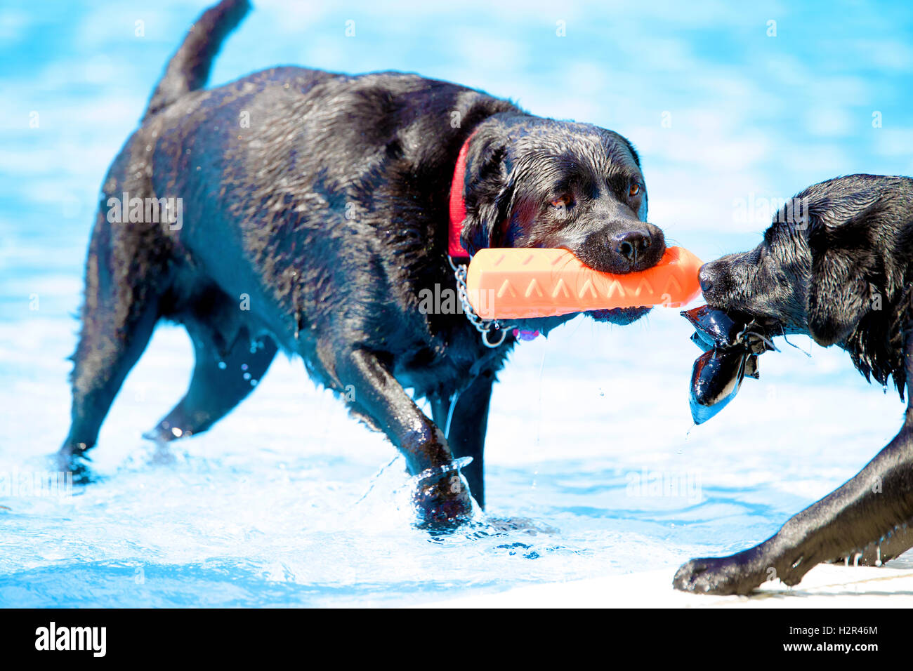 Two dogs, Labrador Retriever, both pulling a toy in swimming pool, blue water - Stock Image