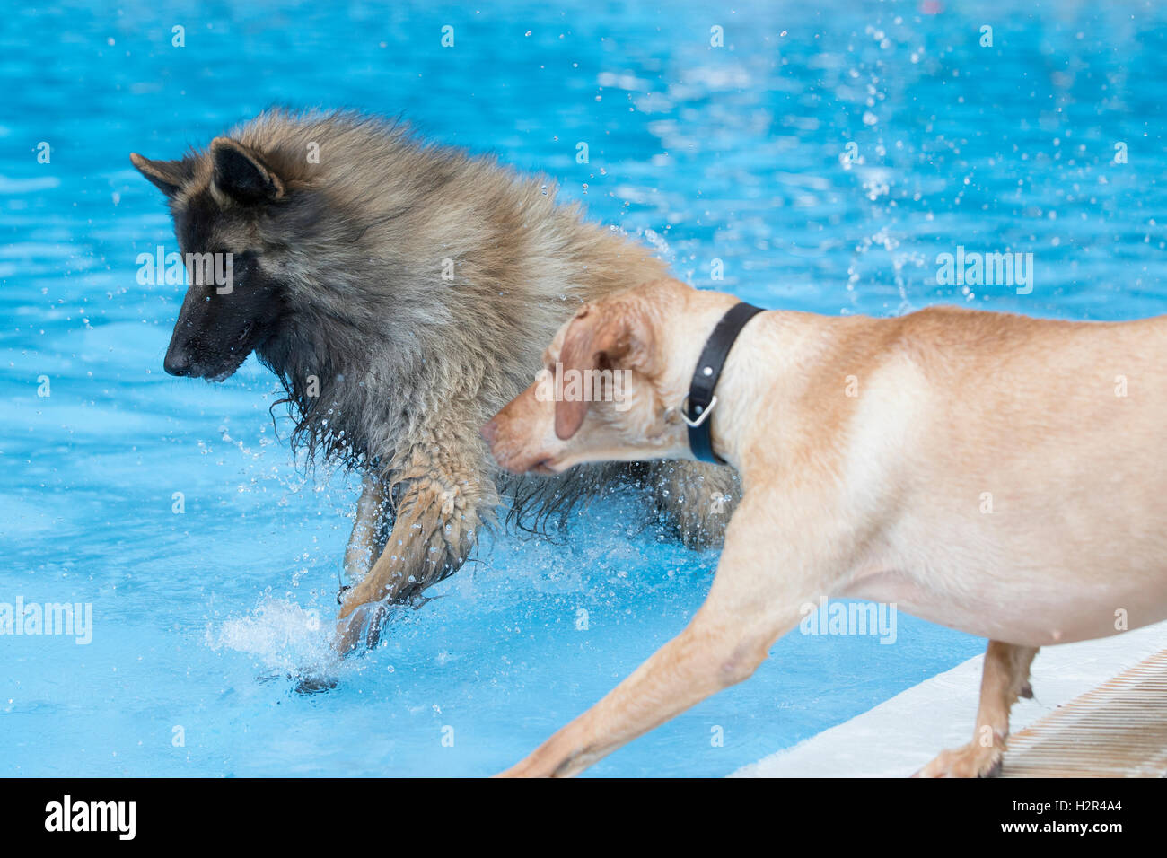 Two dogs running in swimming pool, blue water - Stock Image