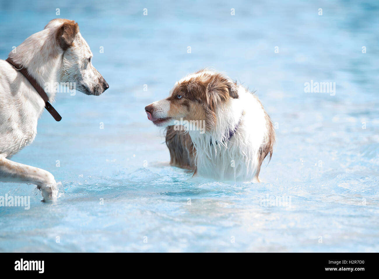 Two dogs meeting in a swimming pool - Stock Image