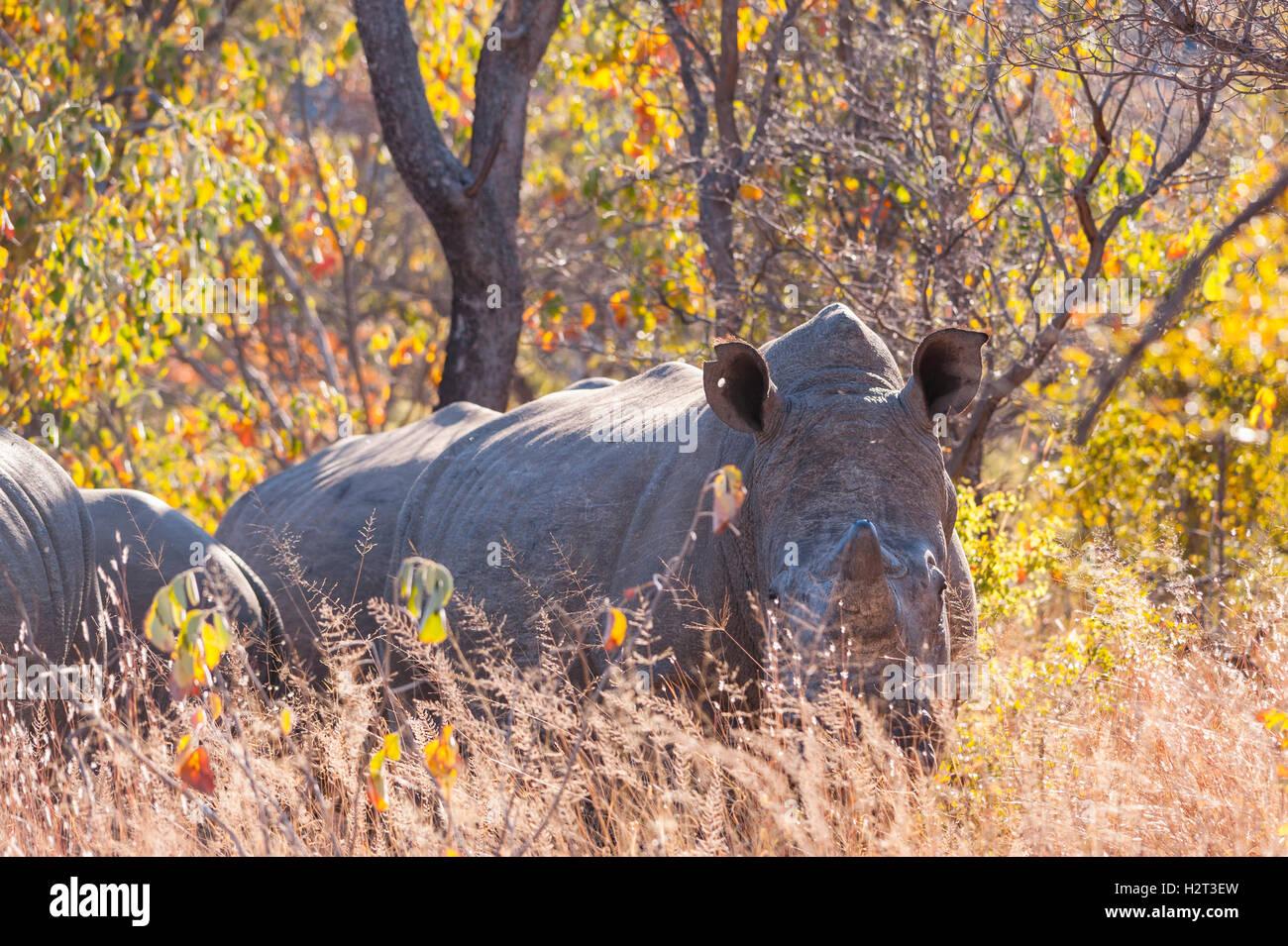 White Rhinoceros Ceratotherium simum Matobo crush - Stock Image