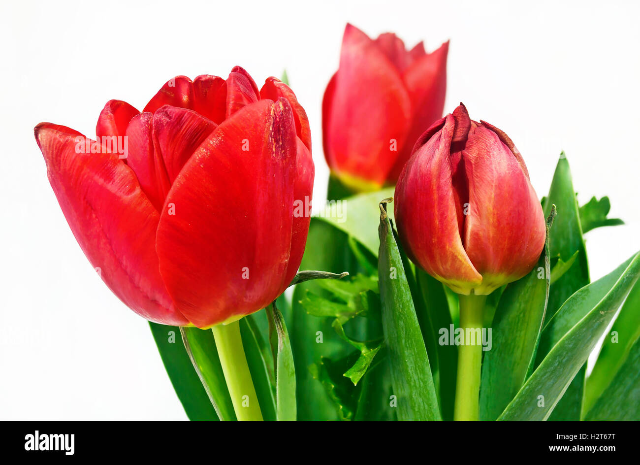 red tulips flower bouquet - Stock Image