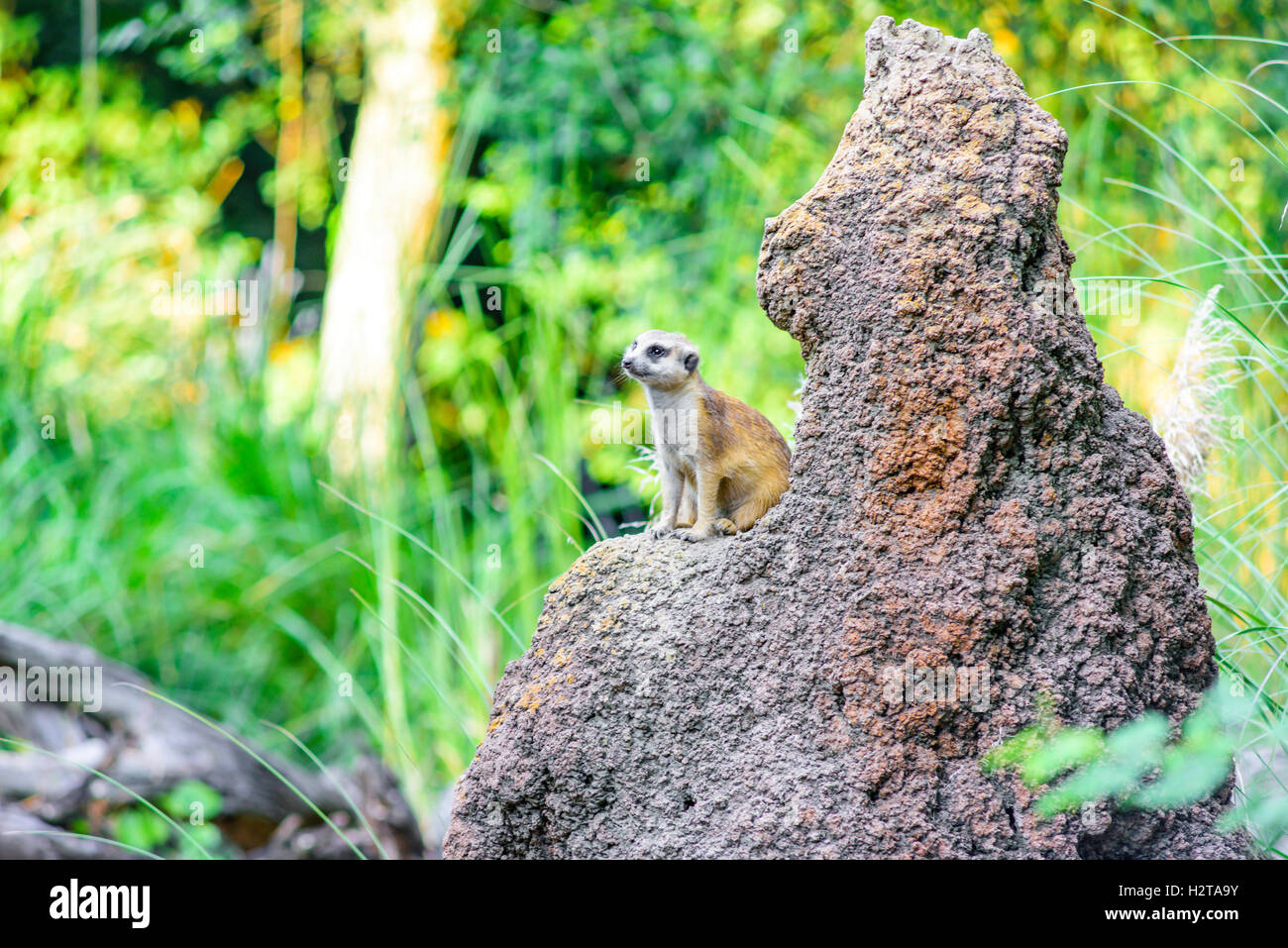 Meerkat at Disney's Animal Kingdom - Stock Image