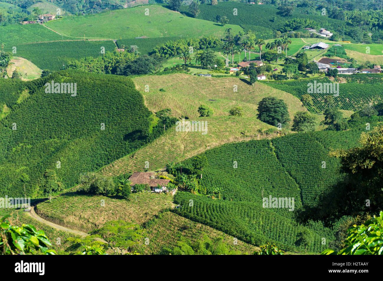 Landscape of coffee plants in the coffee growing region near Manizales, Colombia Stock Photo
