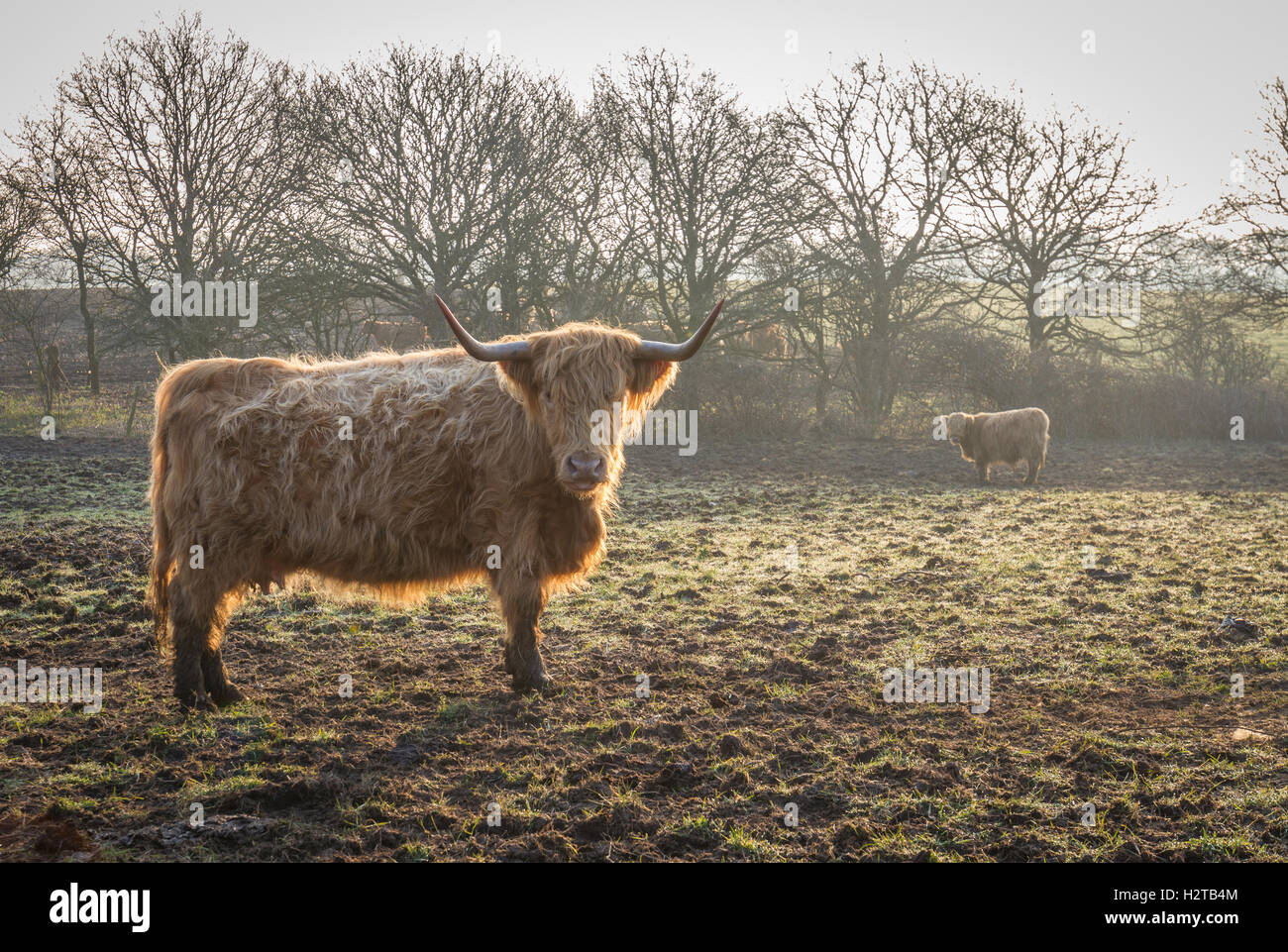 highland cow with horns at sunrise in winter with mist - Stock Image