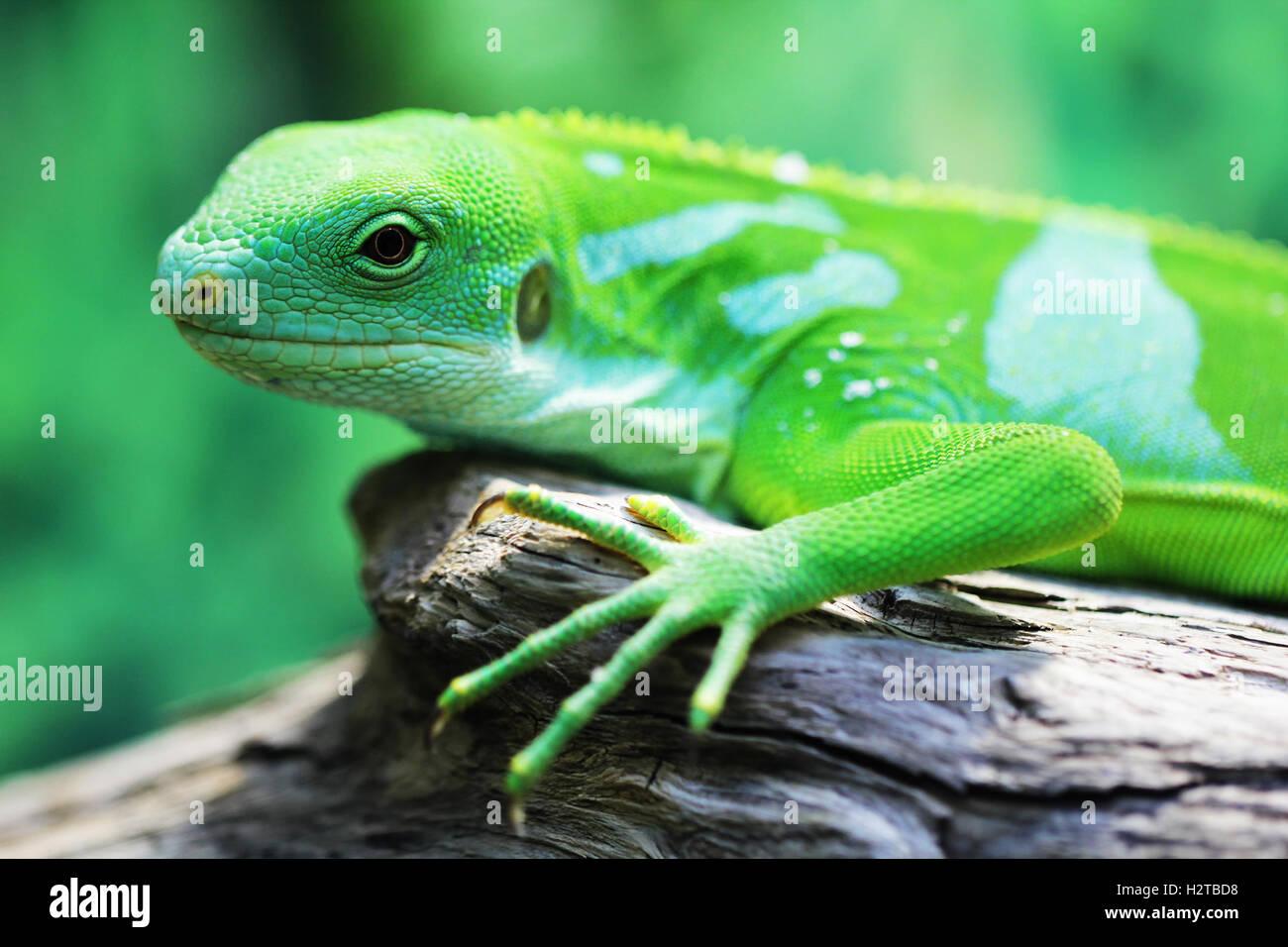 Lizard close up macro animal portrait photo - Stock Image