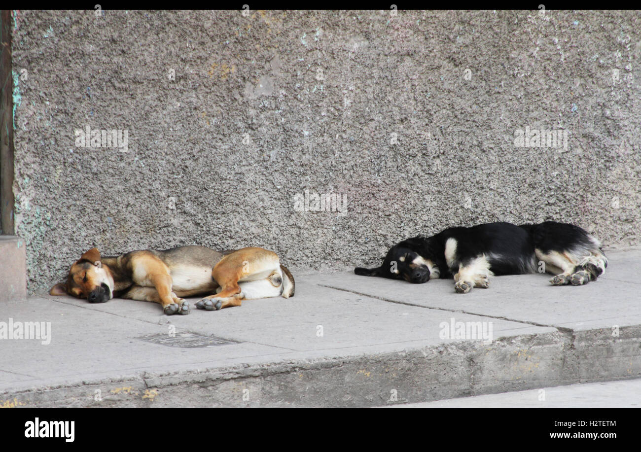 Two large dogs sleeping on the sidewalk in Peru - Stock Image