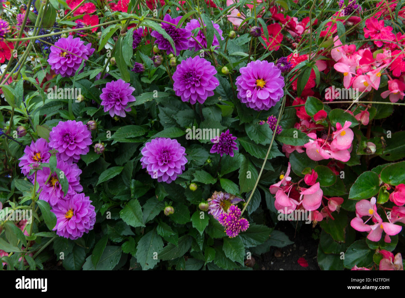 Mix of Dahlia and Begonia flowers, closeup, medieval historic village of Yvoire, Haute-Savoie, France - Stock Image