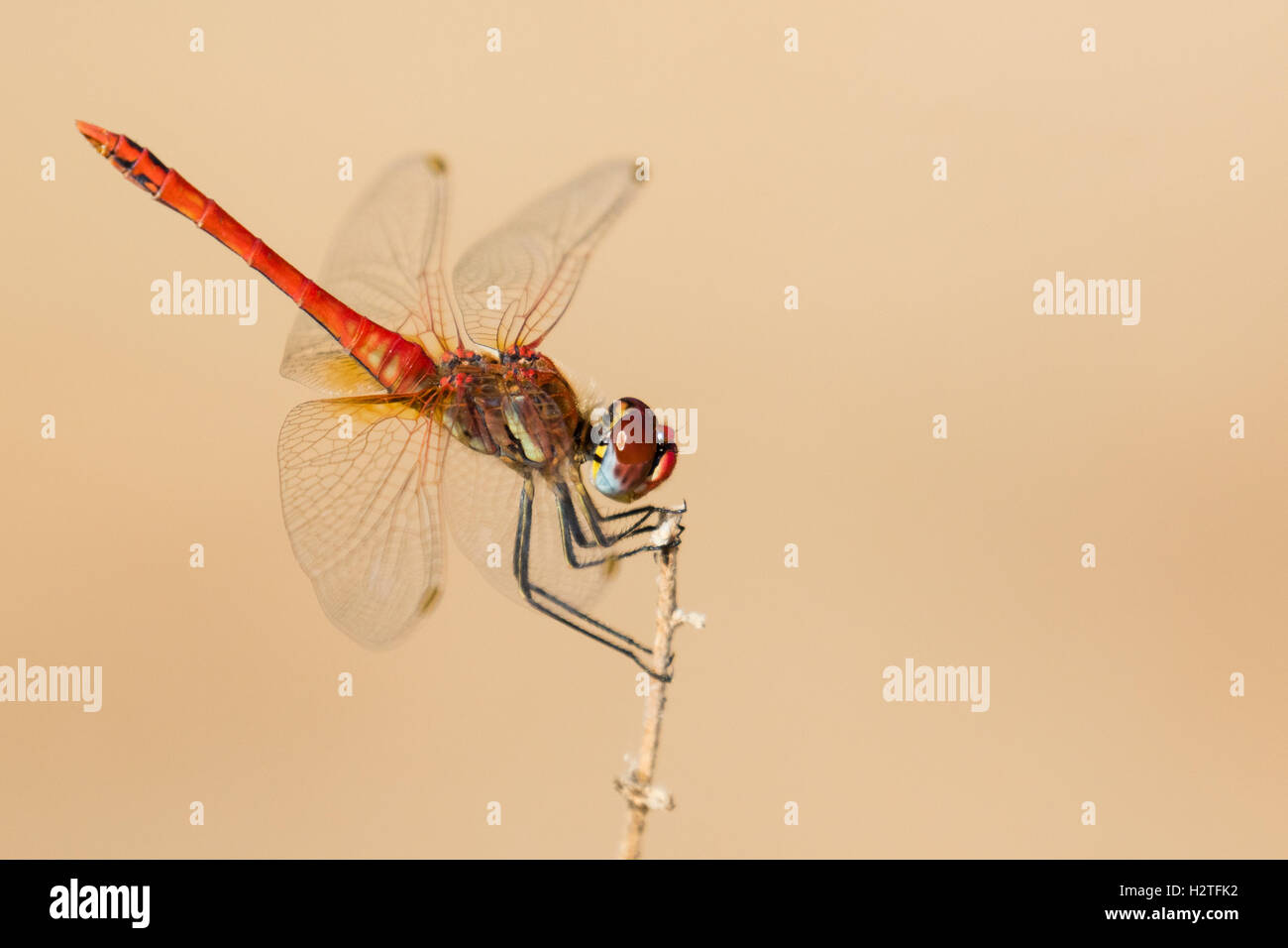 A male red-veined darter in Portugal Stock Photo