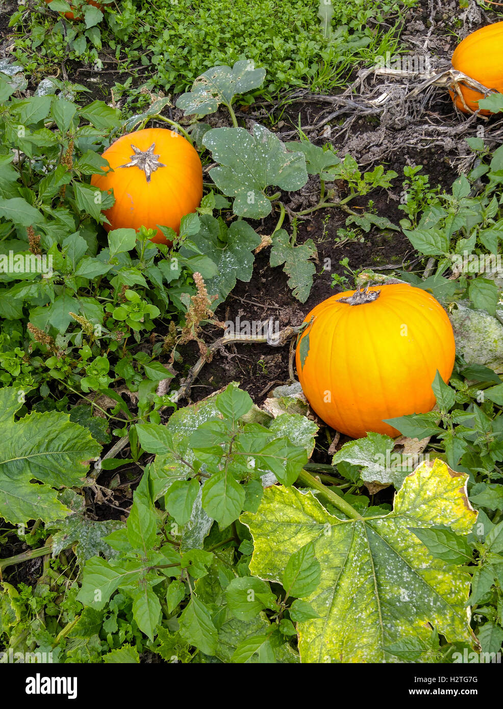 Pumpkins growing in the pumpkin patch. - Stock Image