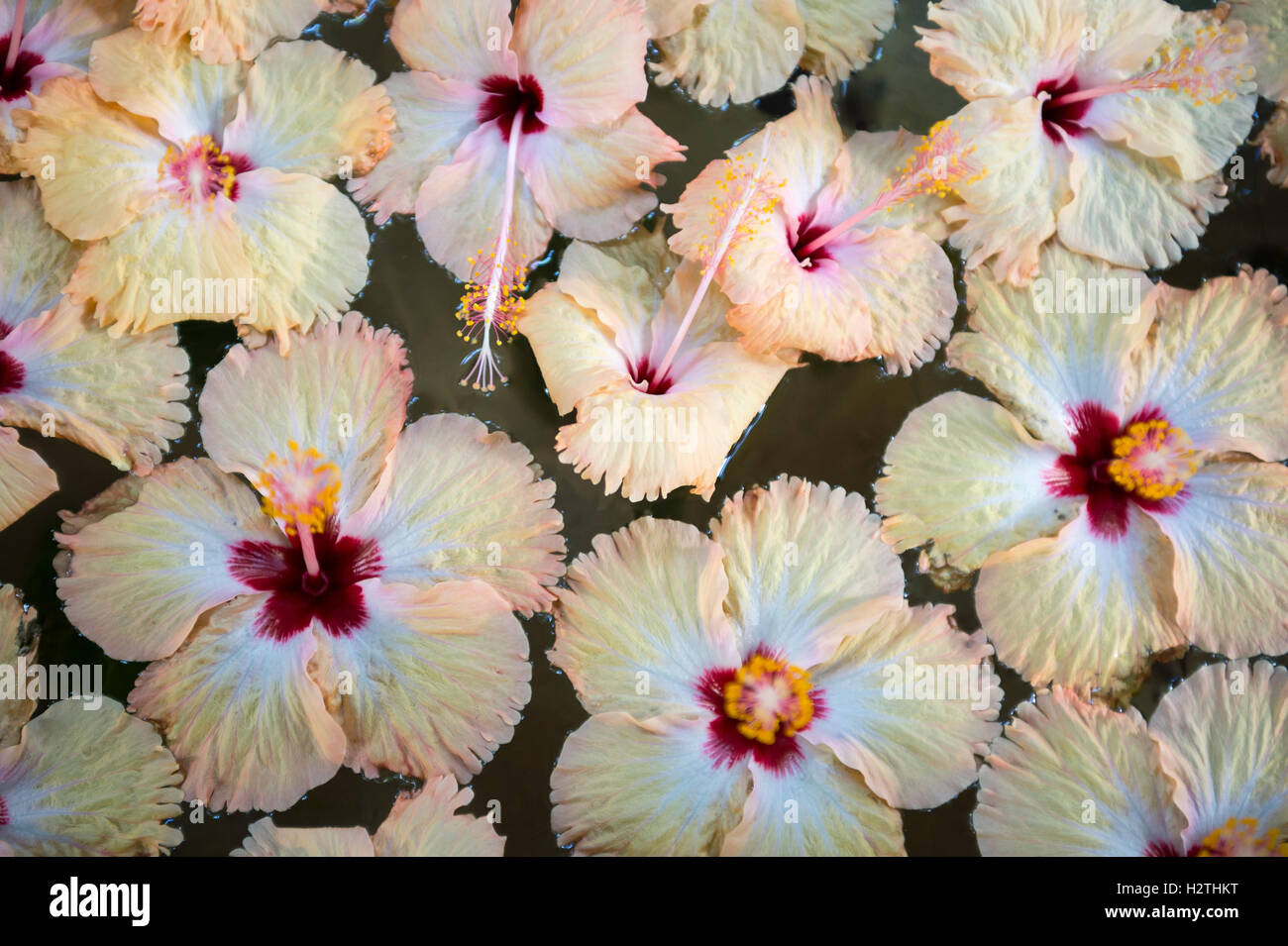 Colorful Collection Of Fresh Hibiscus Blossoms Floats In A Stone