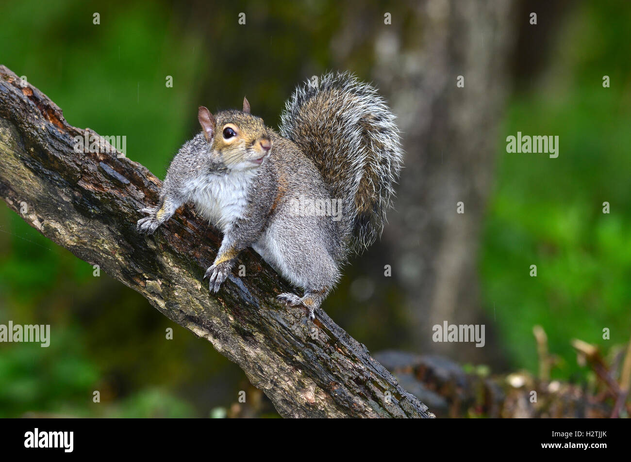A grey squirrel on a branch UK - Stock Image