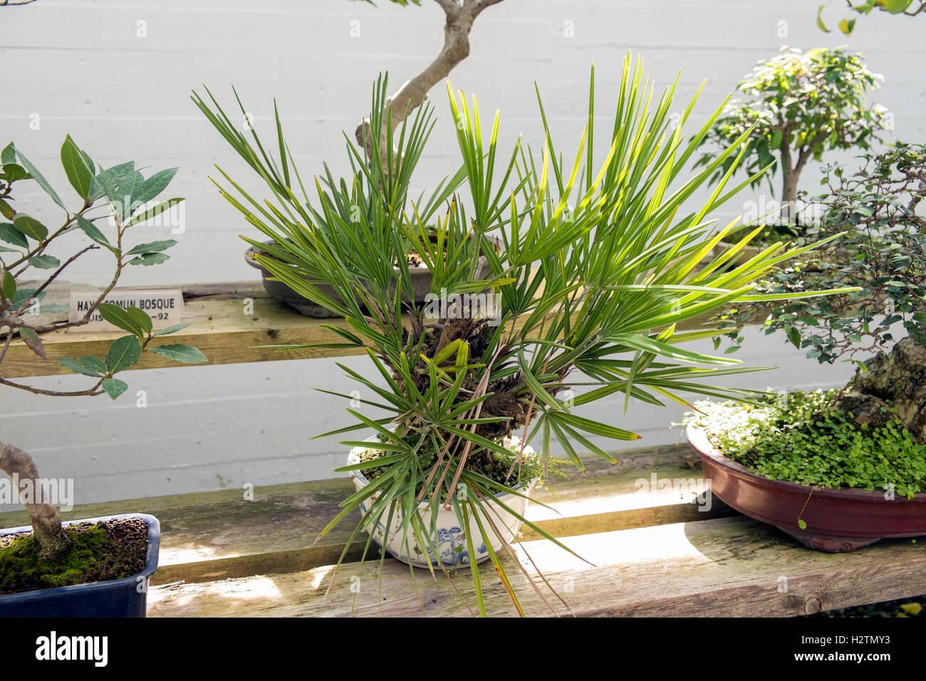Chamaerops Humilis European Fan Palm Marbella Bonsai Museum Stock Photo Alamy