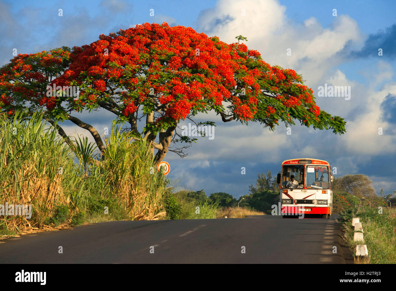 Royal Poinciana Trees (English) Flamboyant Real (Spanish) in Cap Malheureux, Riviere Du Rempart, Mauritius. - Stock Image