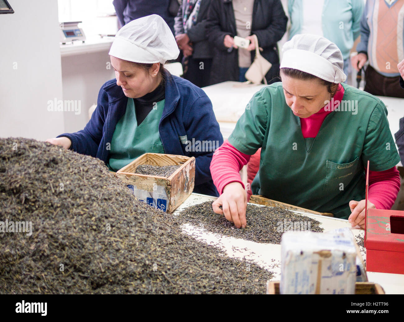 Sorting Tea Leaves at Cha Gorreana. Two women sort through a pile of fermented tea leaves to remove the stems. - Stock Image
