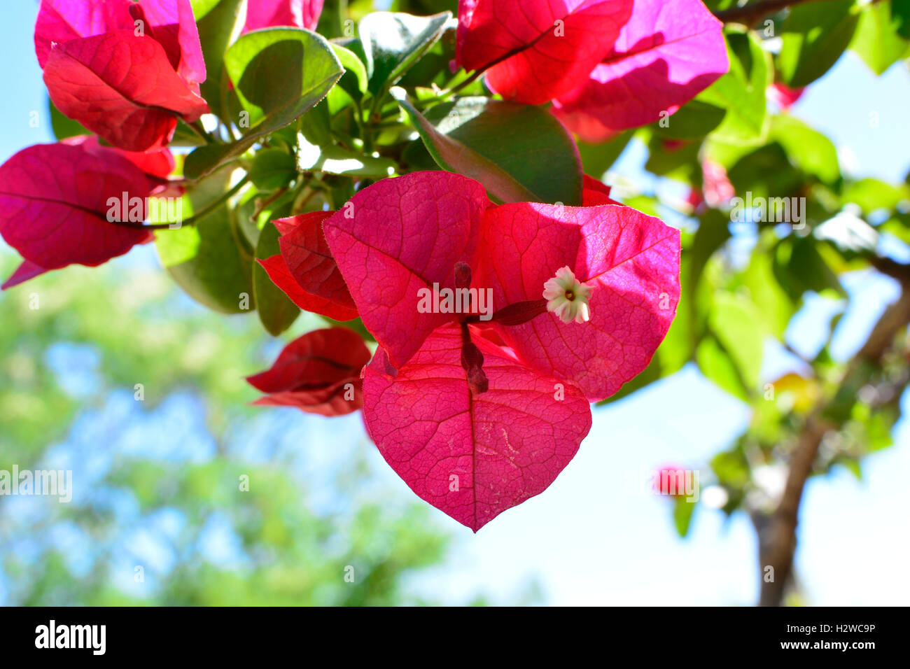 Red Bougainvillea flowers - Stock Image