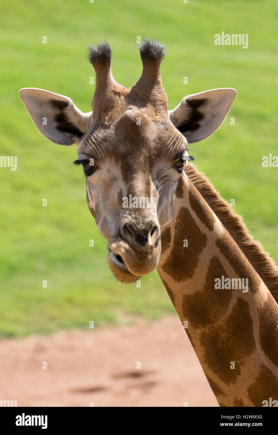 Closeup of a giraffe head - Stock Image