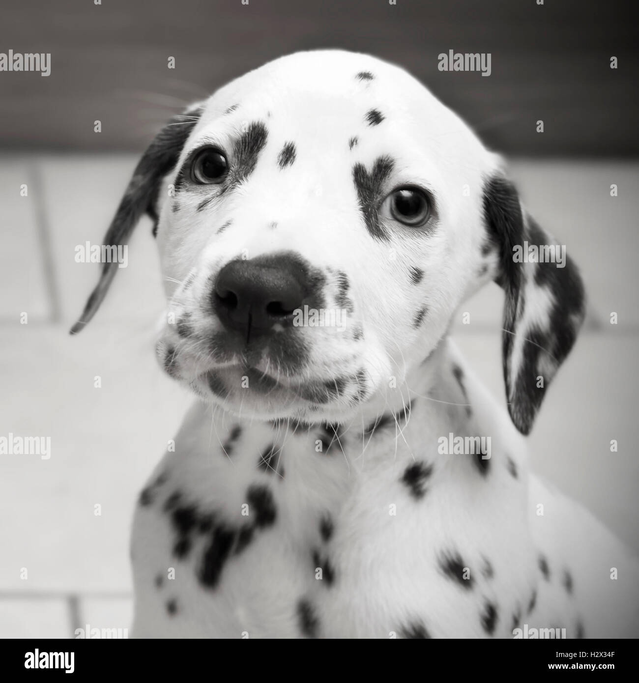 Cute Young 8 week Old Spotty Dalmatian Puppy - Staring into the camera with Puppy Eyes in Black and White - Stock Image