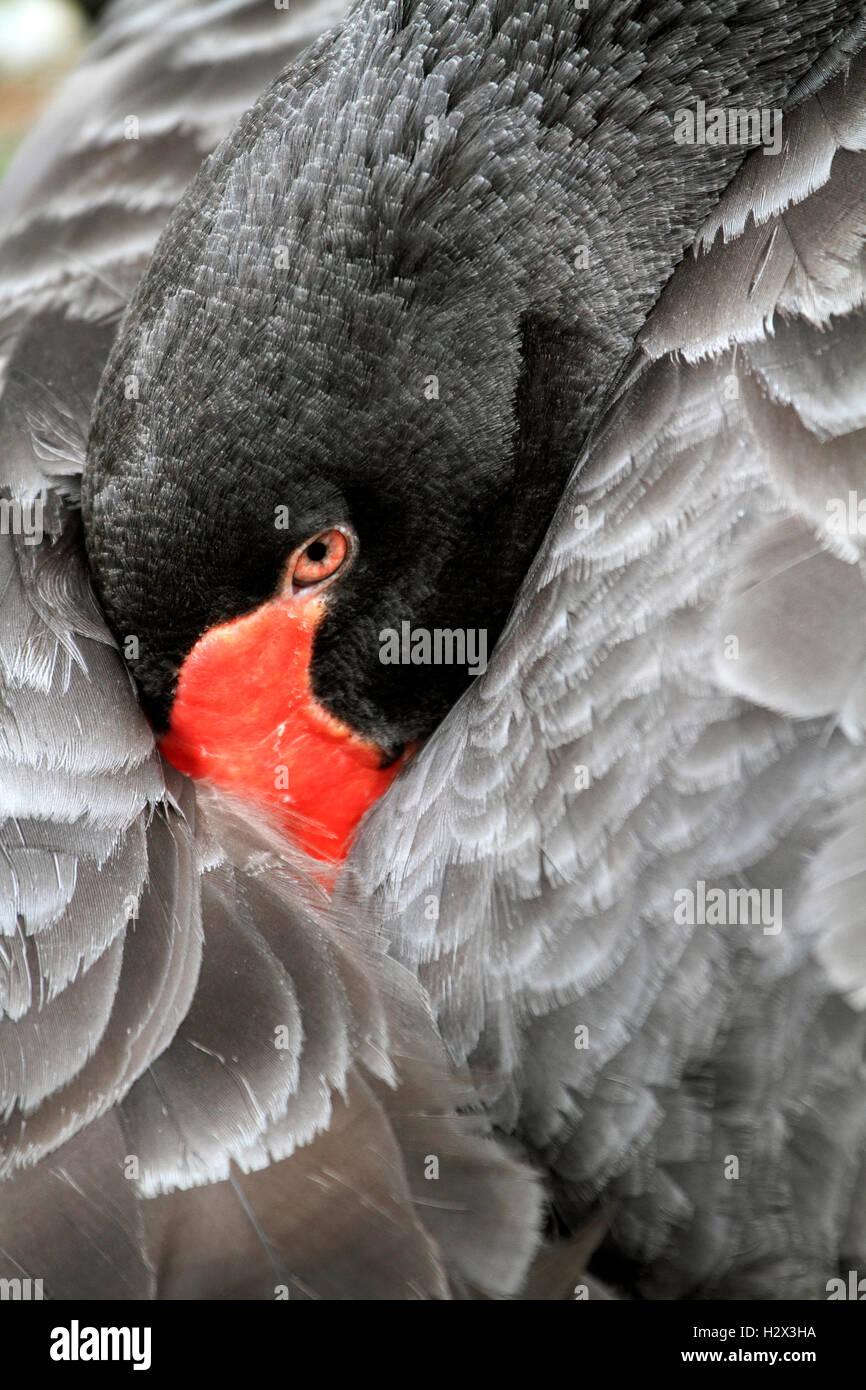 Australian Black Swan, Cygnus atratus, Cape May County Zoo, New Jersey, USA - Stock Image