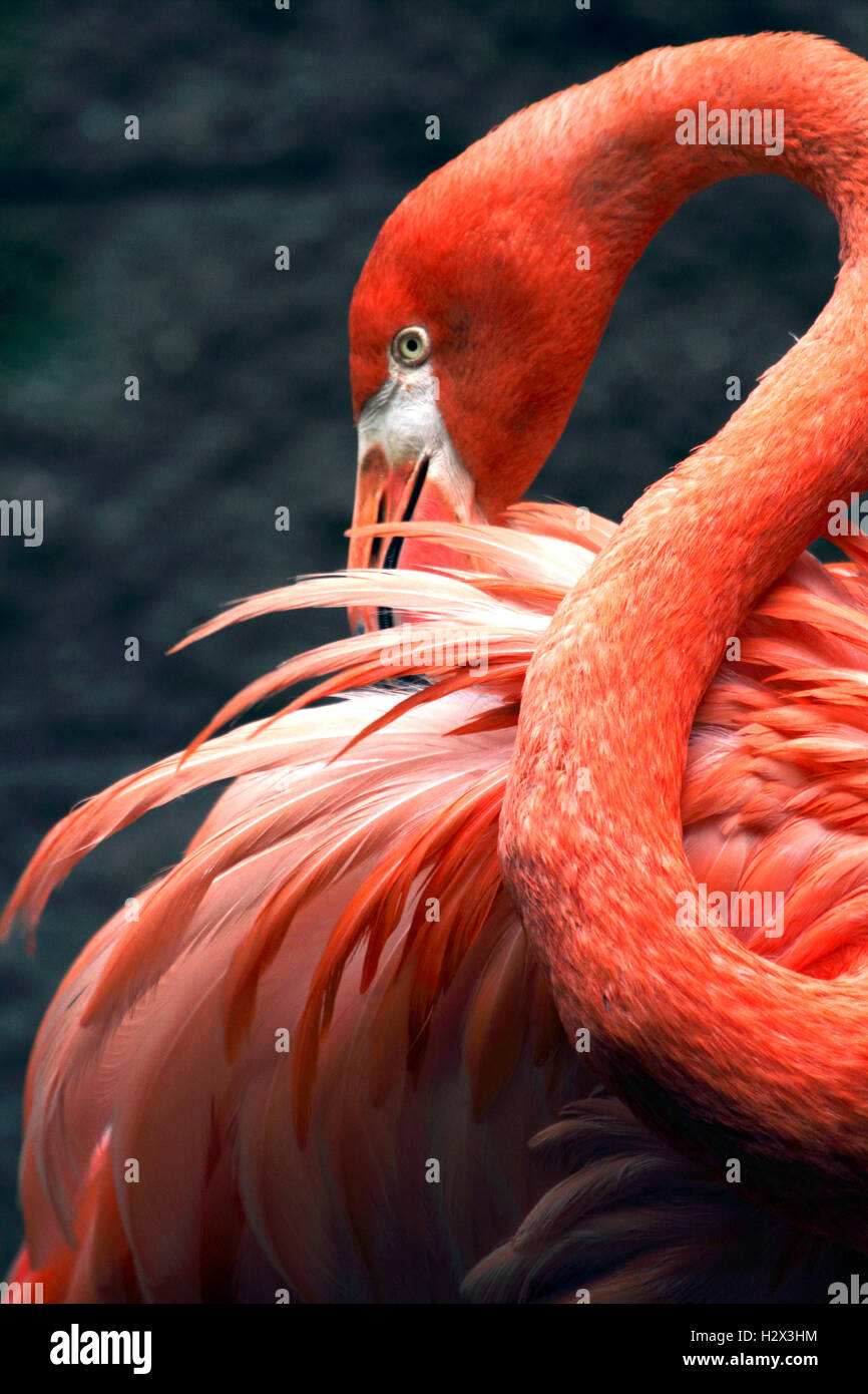 American Flamingo, Phoenicopterus ruber, Cape May County Zoo, New Jersey, USA - Stock Image