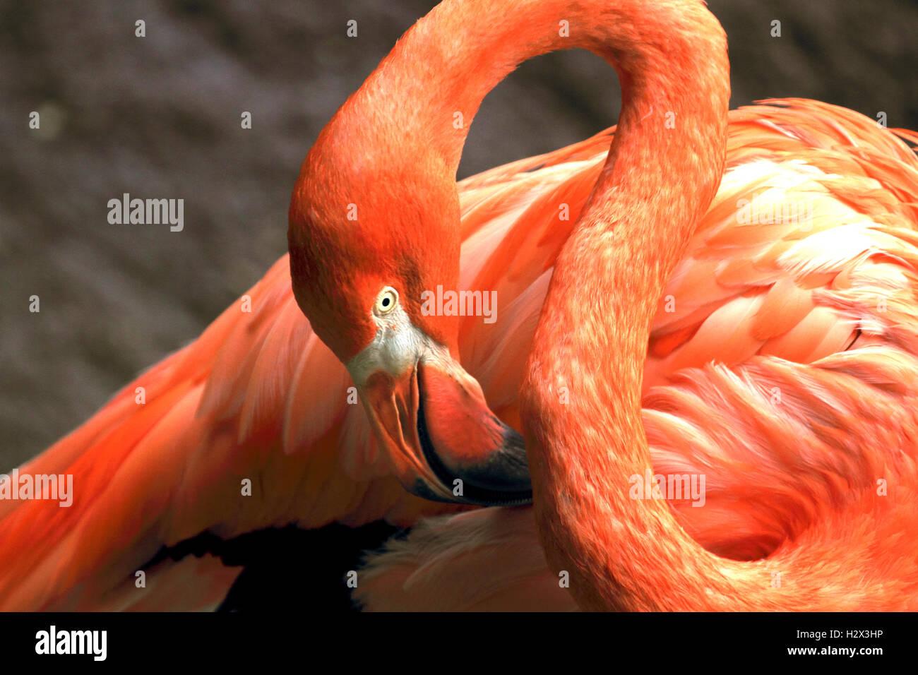 American Flamingo, Phoenicopterus ruber, Cape May County Zoo, New Jersey, USA Stock Photo