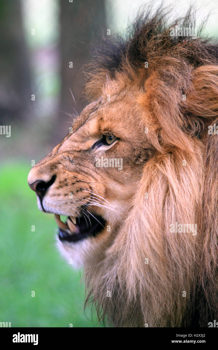 African Lion, Panthera leo, at the Cape May County Zoo, New Jersey, USA - Stock Image