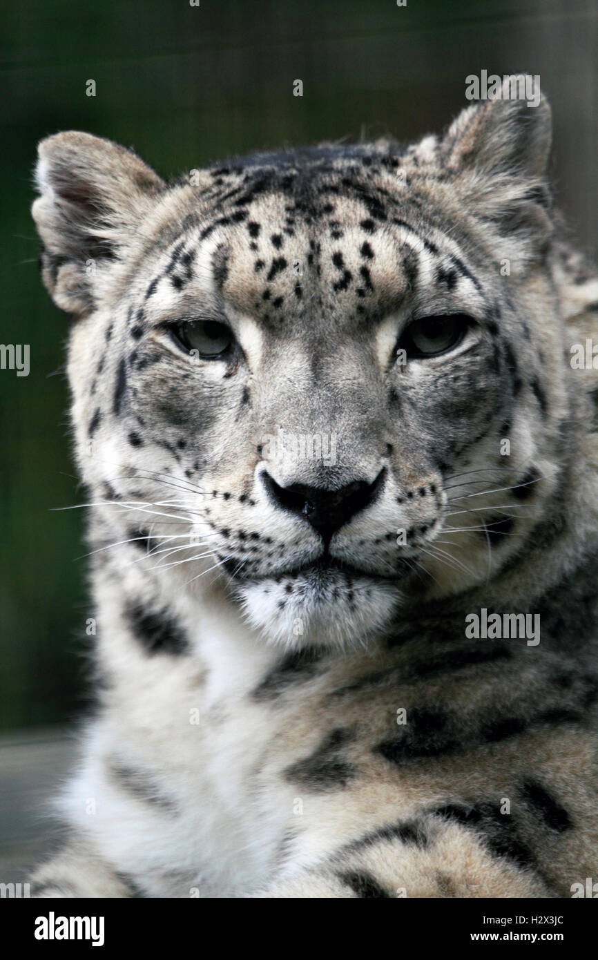 A Snow Leopard, Panthera uncia, Cape May County Zoo, New Jersey, USA - Stock Image