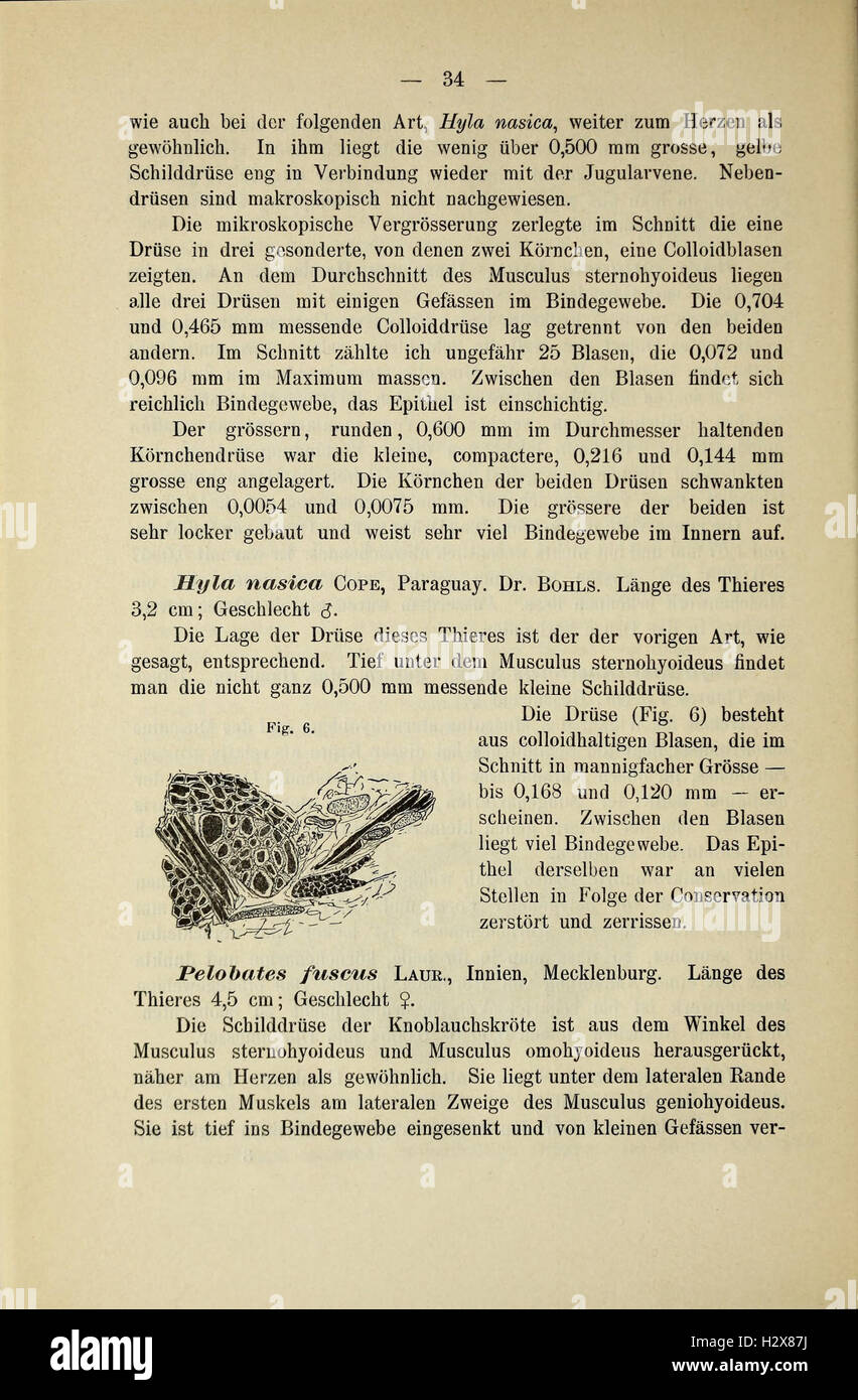 Glandula Thyreoidea und Glandula Thymus Stock Photos & Glandula ...