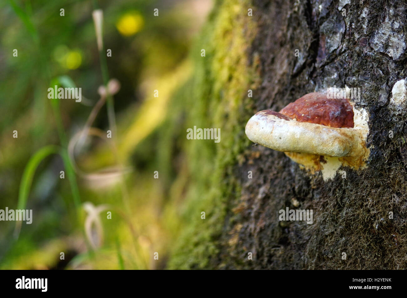 a large fungus growing on the side of a old tree. - Stock Image