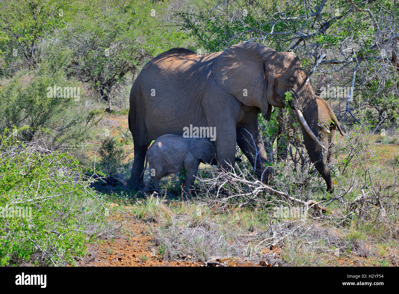 Elephant and baby seeking shade  and fanning with ears during the mid day sun  in the road side bushes near Sukuza - Stock Image