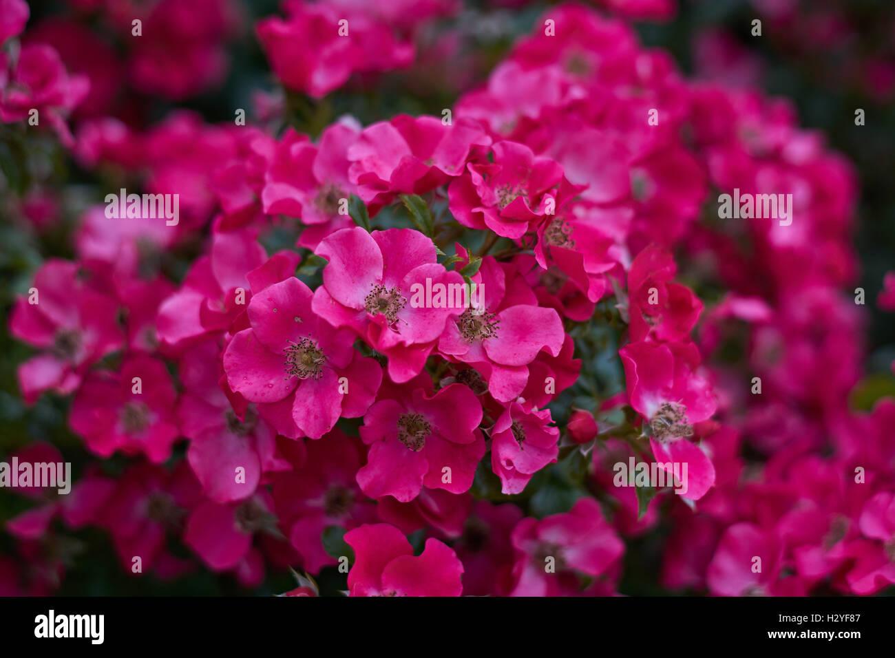 Deep rose pink flowers stock photos deep rose pink flowers stock deep pink lush rose roses flowers in cluster stock image mightylinksfo