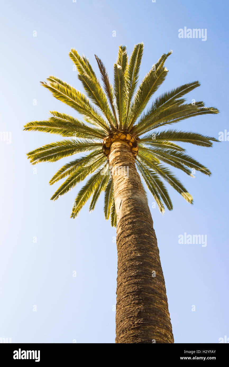 Bottom-up view of a beautiful palm tree with blue sunny sky at San Diego,  California