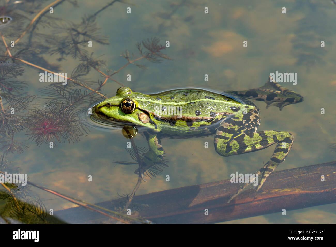 Edible frog (Rana esculenta), water, Burgenland, Austria - Stock Image