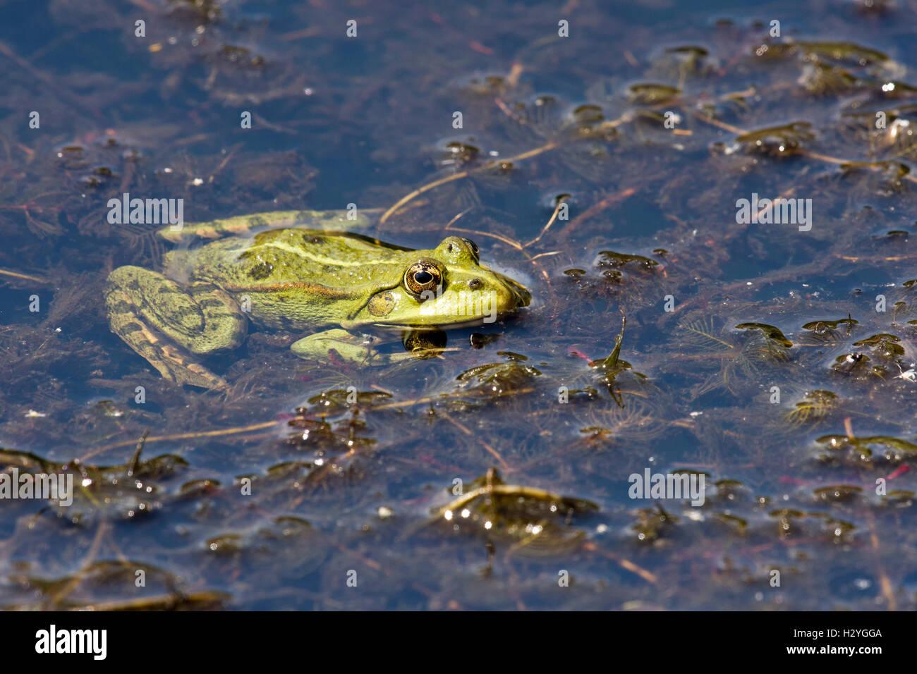 The edible frog (Rana esculenta), water plants, Burgenland, Austria - Stock Image