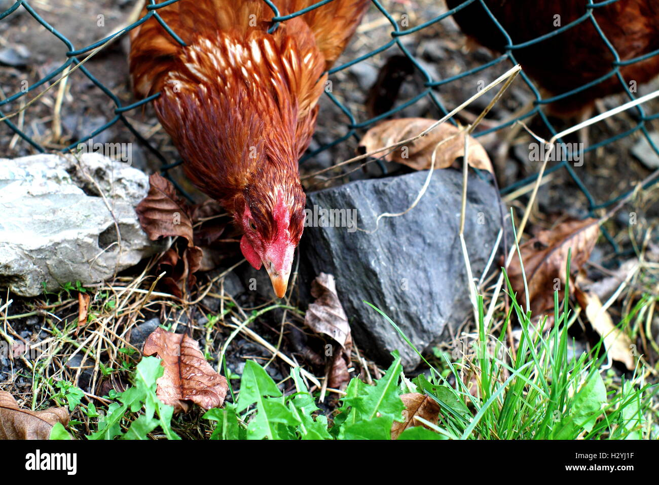 Red chicken breaking out from cage. - Stock Image