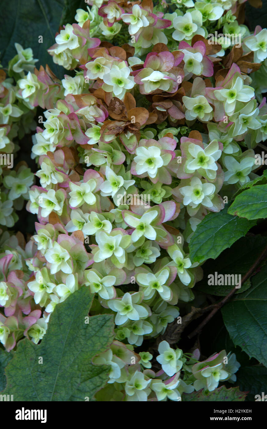 The petals of an oak leaf hydrangea begin to turn pink as autumn begins. Hydrangea quercifolia hovaria Stock Photo