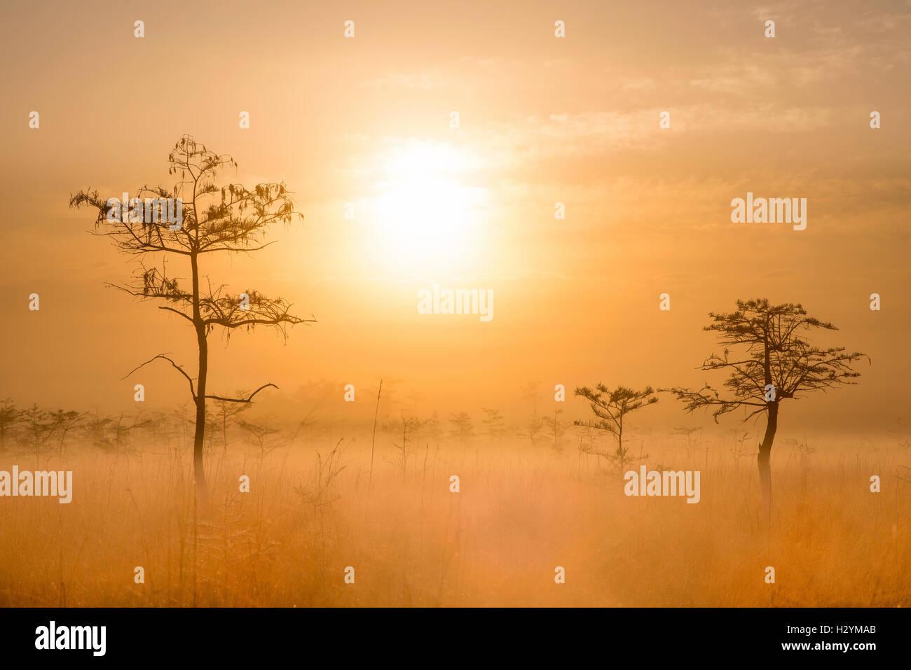 Sunrise and Dwarf Cypress (Taxodium distichum), Sawgrass Prairie, Fog, Everglades National Park, Florida USA - Stock Image