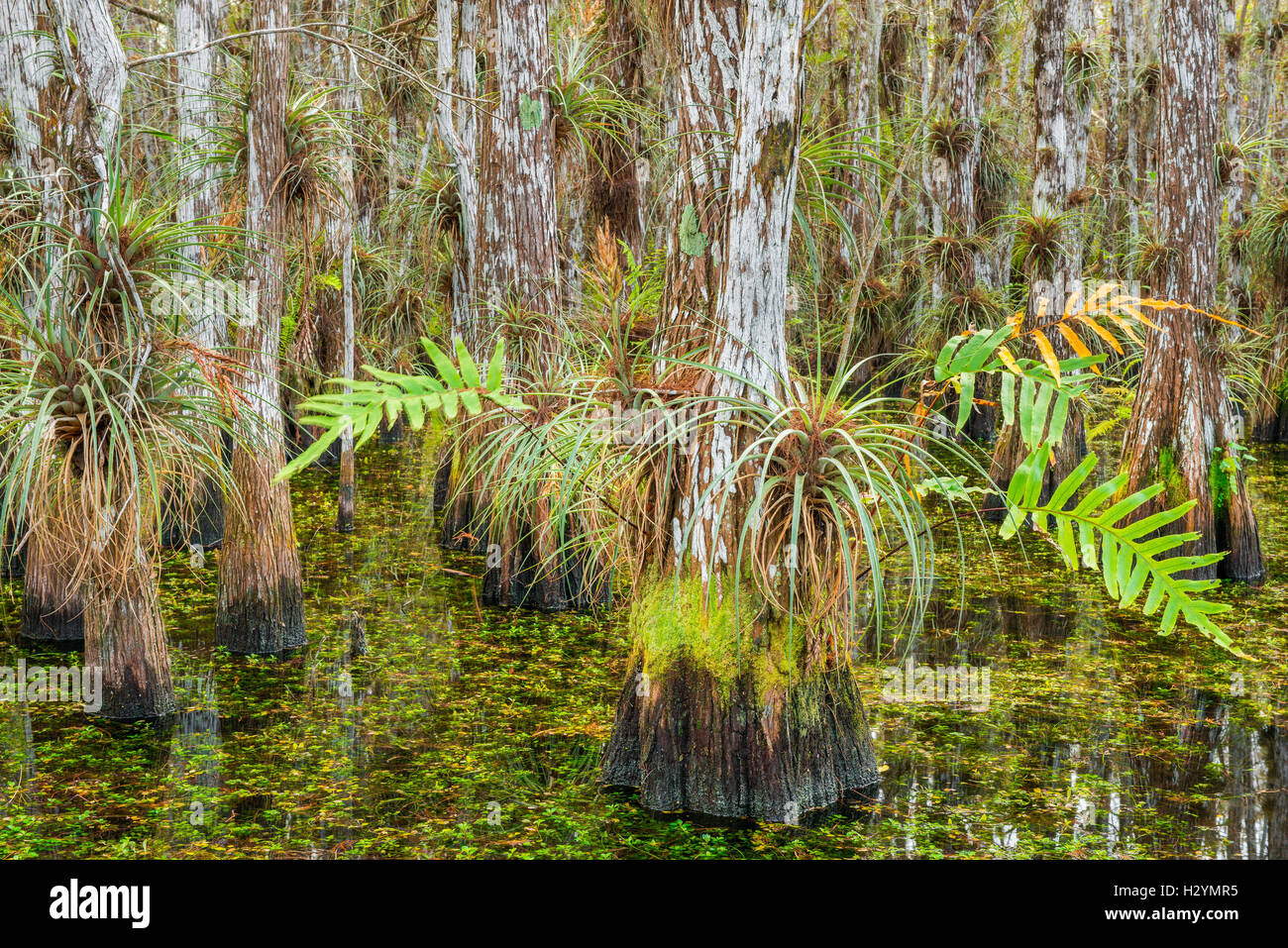 Bald cypress trees covered with bromeliads and ferns within a cypress dome - Everglades National Park Florida USA Stock Photo