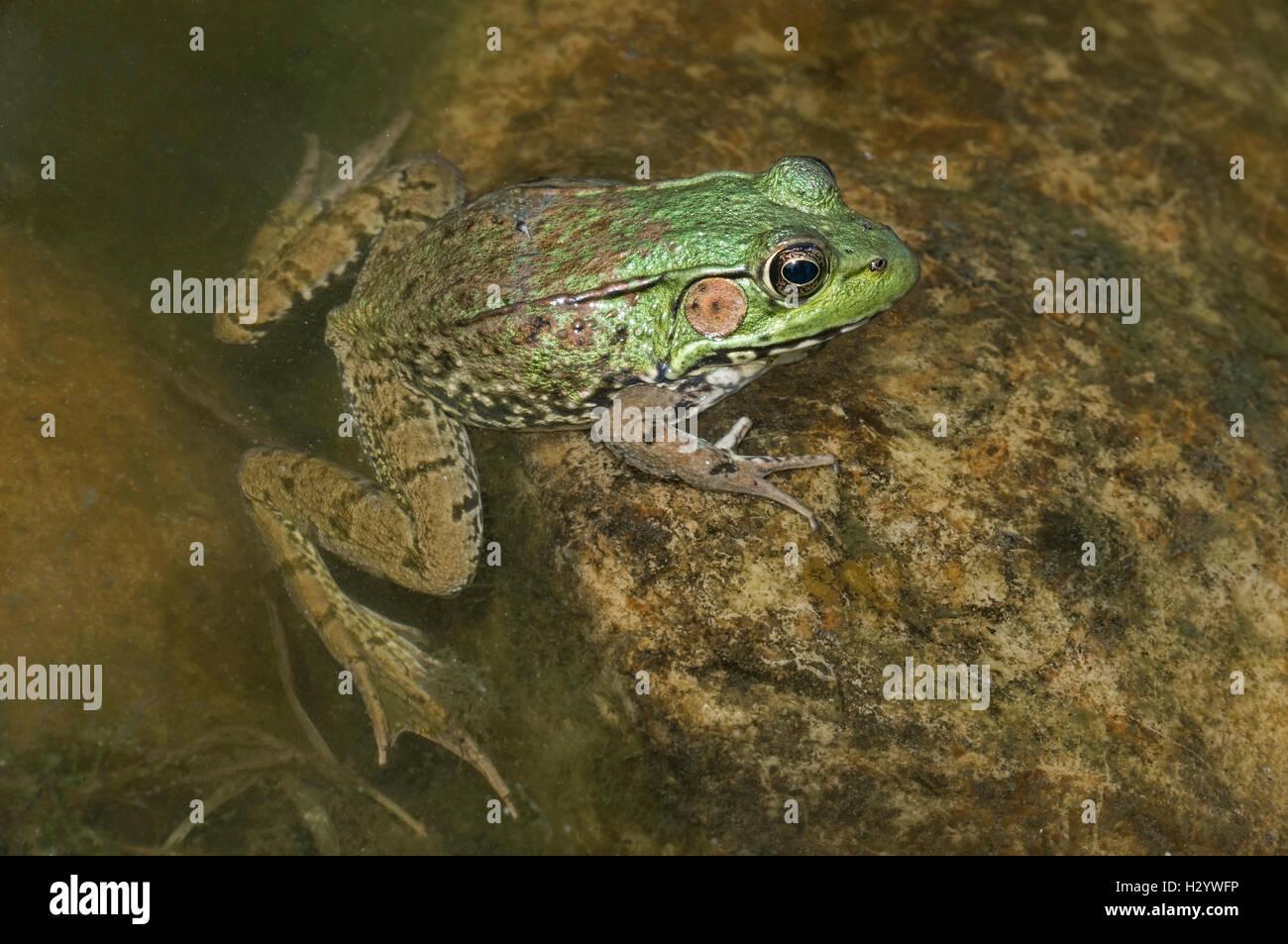 Green Frog (Rana clamitans), Pond, E USA by Skip Moody / Dembinsky Photo Associates - Stock Image
