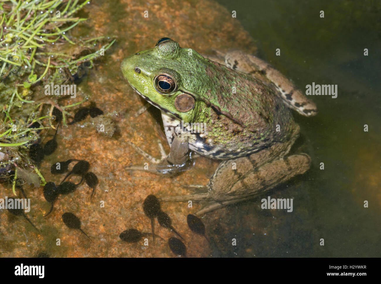 Green Frog (Rana clamitans), Pond, E USA by Skip Moody / Dembinsky Photo Associates - Stock Image