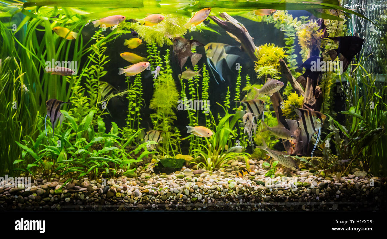 Ttropical freshwater aquarium with fishes - Stock Image
