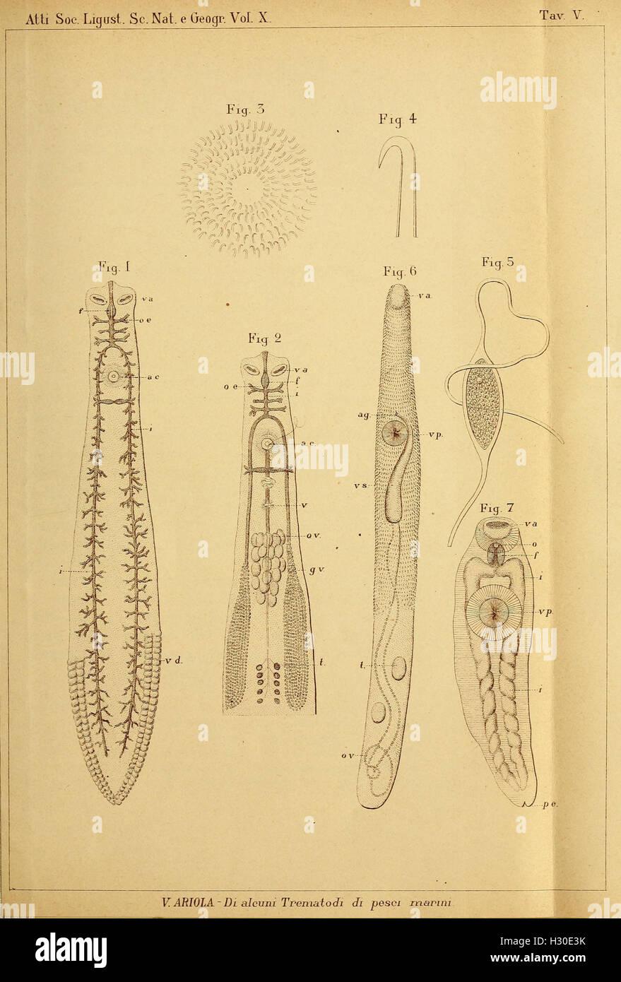 Bollettino dei Musei di Zoologia e Anatomia Comparata della R. Università di Genova BHL274 Stock Photo