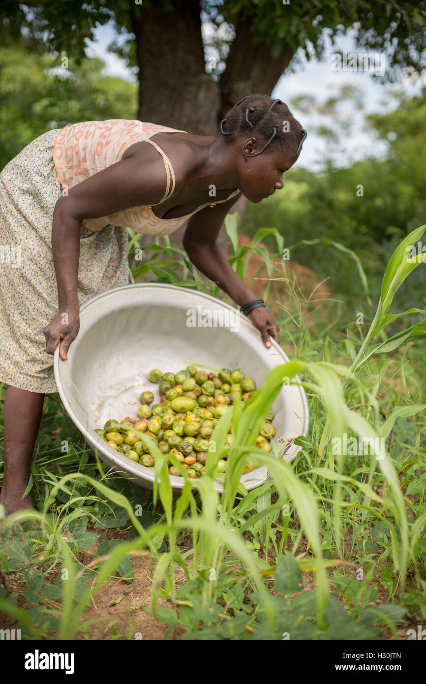 Women collect fallen shea fruit, the nut from which is used for making shea butter and oil, in Burkina Faso, Africa. - Stock Image
