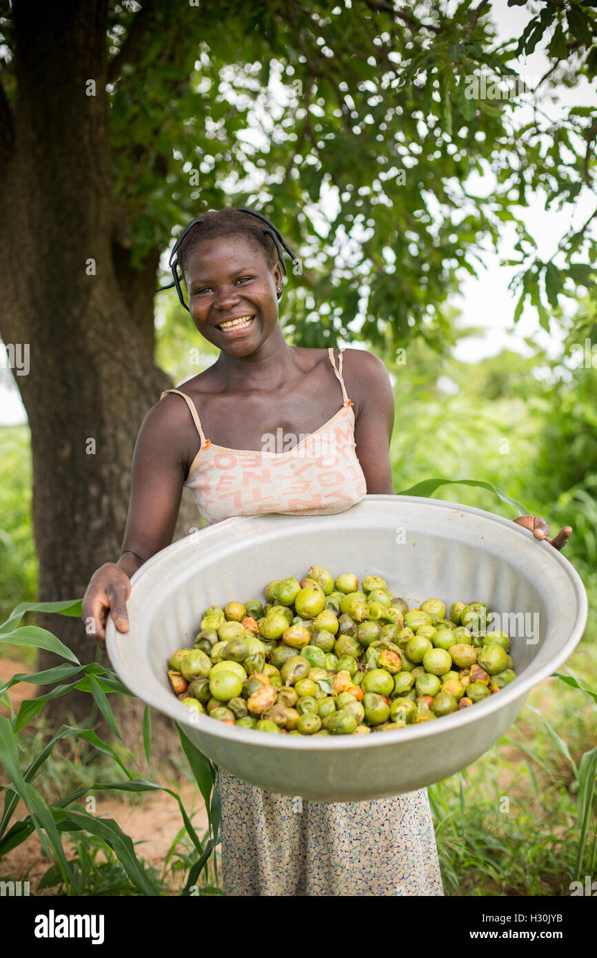 Women collect fallen shea fruit, the nut from which is used for making shea butter and oil, in Burkina Faso, Africa. Stock Photo