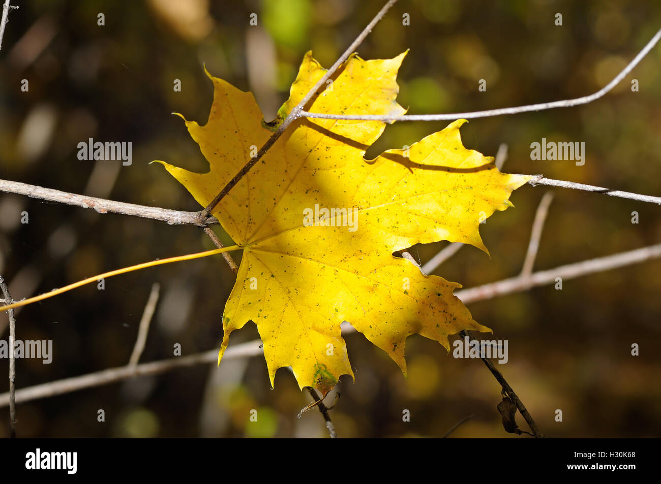 yellow maple leaf on blurred background - Stock Image