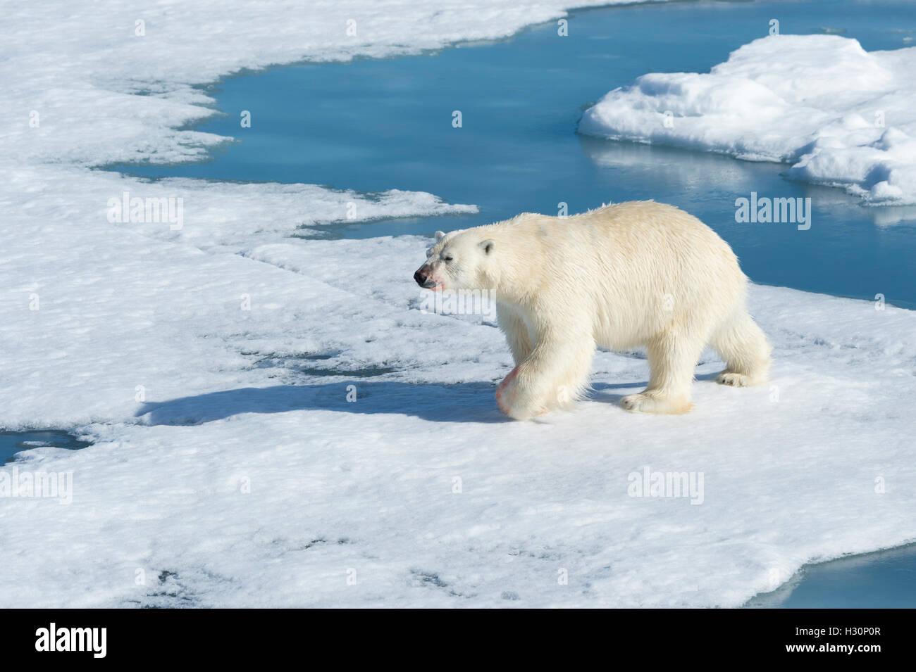 Male Polar Bear (Ursus maritimus) walking on the pack ice, Spitsbergen Island, Svalbard archipelago, Norway, Europe - Stock Image