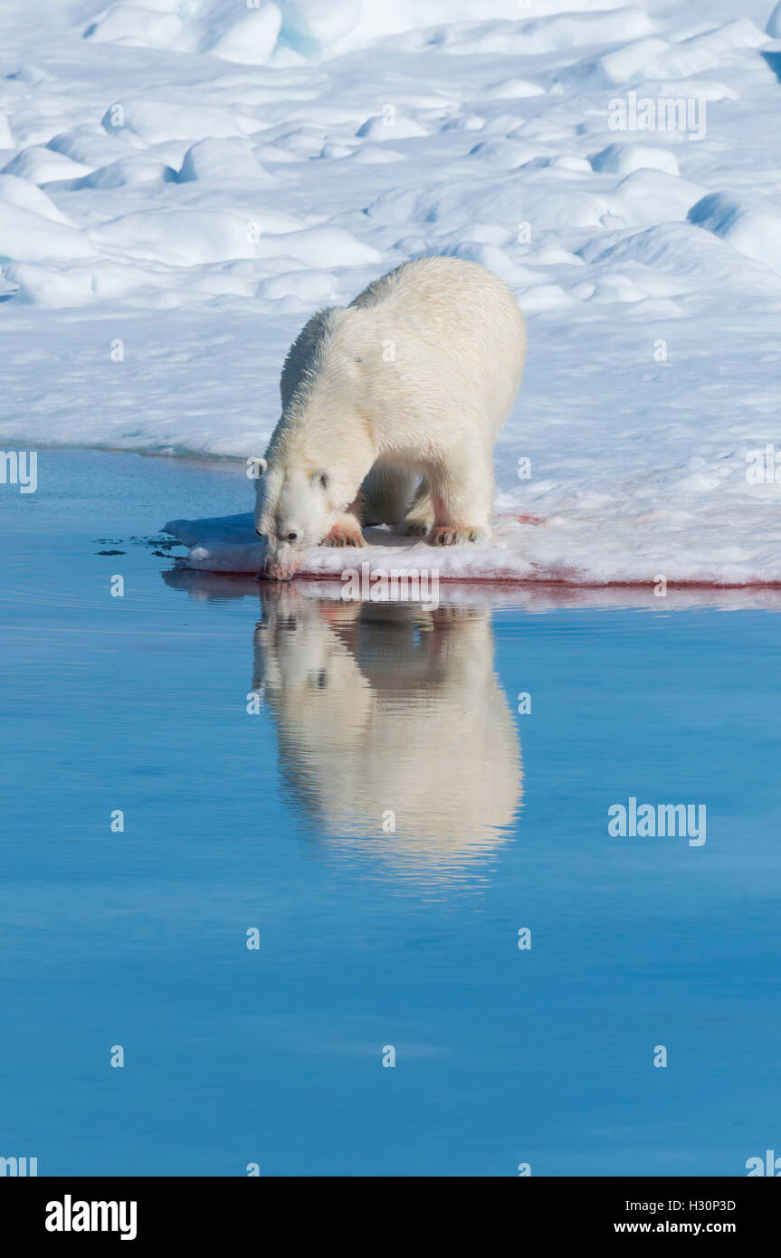 Male Polar Bear (Ursus maritimus) drinking water after a kill on the pack ice, Spitsbergen Island, Svalbard archipelago, - Stock Image