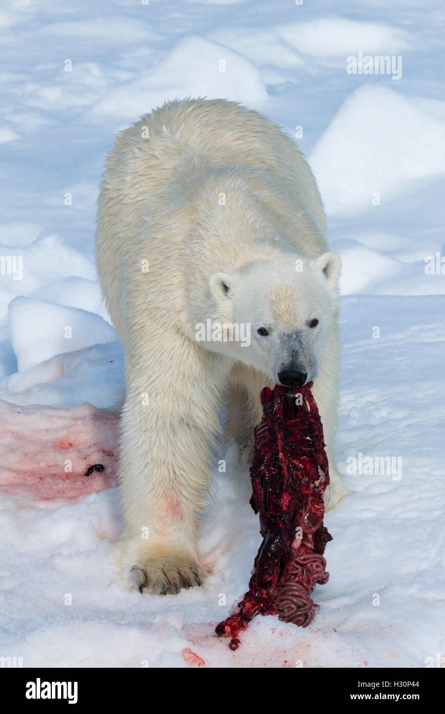 Male Polar Bear (Ursus maritimus) on the pack ice, feeding on the remains of a preyed seal, Spitsbergen Island, - Stock Image