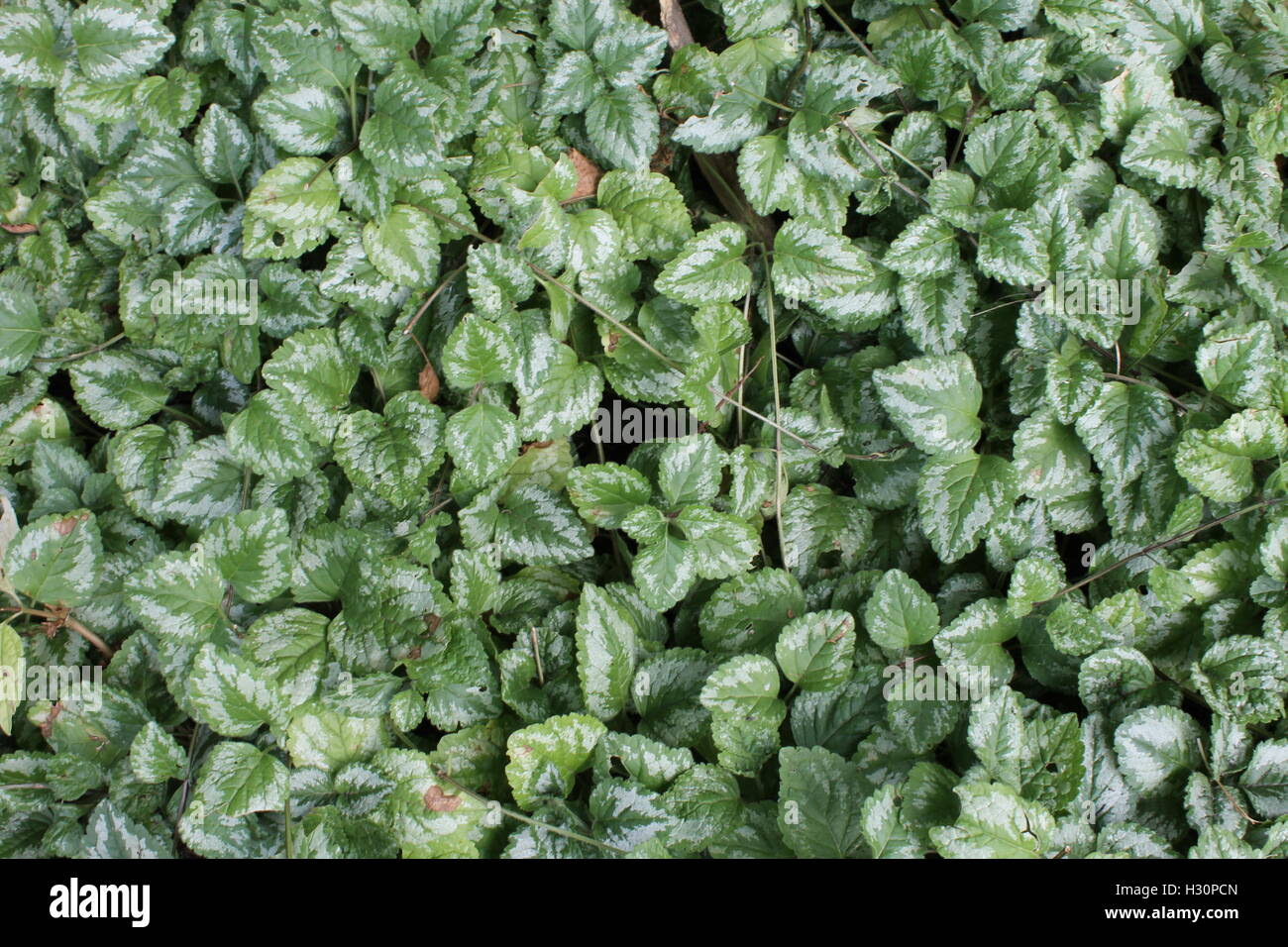 Ordinary goldnessel ground cover - Stock Image