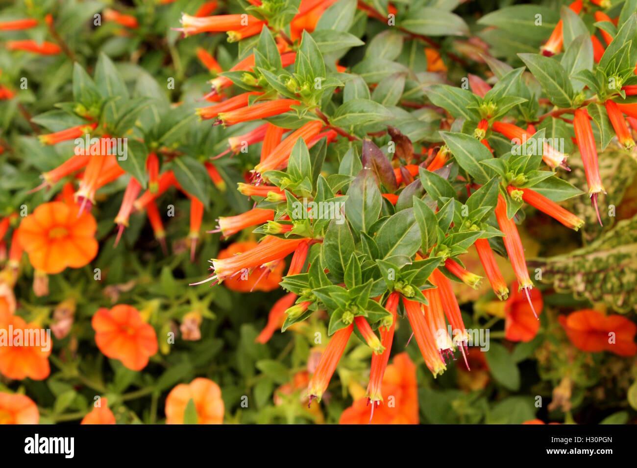 Calibrachoa and cuphea ignea flowers at Millenium Park in Chicago, IL - Stock Image