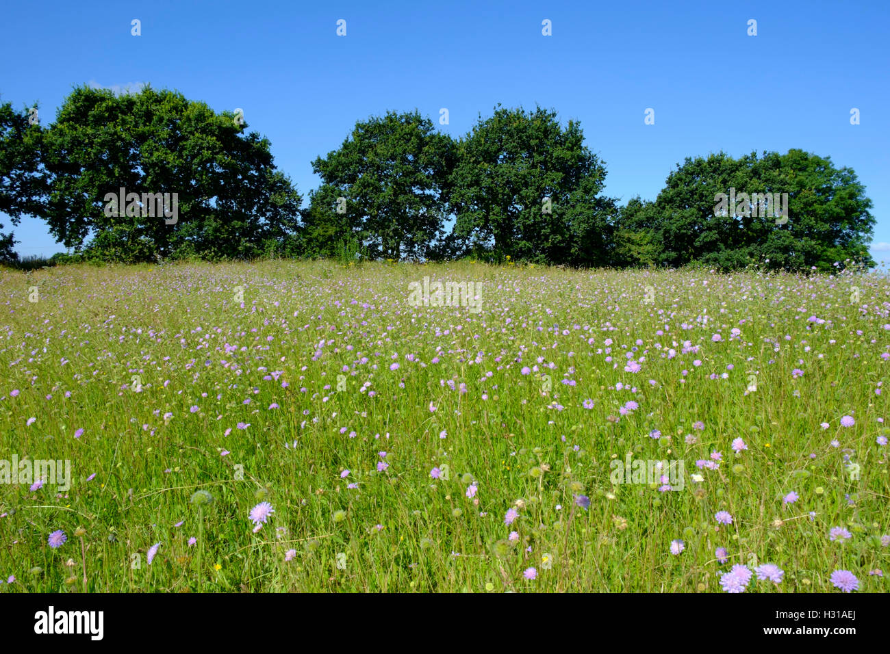 A British Summer meadow - Stock Image